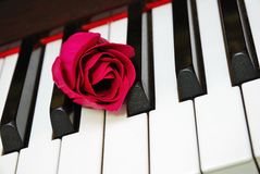Closeup of rose on piano keyboard Royalty Free Stock Image