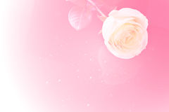 Closeup rose on pink background Royalty Free Stock Photography