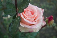 Closeup of a delicate rose with water droplets on petals. stock photography