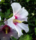 Closeup of rose of sharon Royalty Free Stock Photography