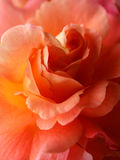 Closeup of rose 'Westerland'. Pink and apricot coloured 'Rose Westerland Royalty Free Stock Image