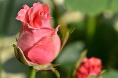 Rosebud stock photography