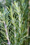 Closeup of a rosemary plant Royalty Free Stock Images