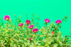 Closeup rosemoss or portulaca  flower Royalty Free Stock Photo