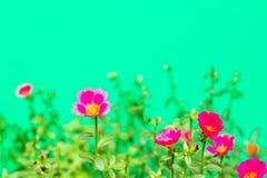 Closeup rosemoss or portulaca  flower Royalty Free Stock Photography