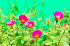 Closeup rosemoss or portulaca  flower Stock Photo