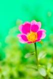 Closeup rosemoss or portulaca  flower Royalty Free Stock Images