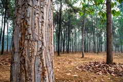 Closeup of rough brown tree trunk in the middle of pine tree forest. royalty free stock image