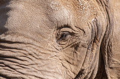 Closeup of a rough skinned elephant face Stock Photography