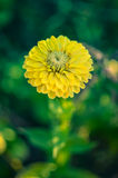 Closeup of round yellow zinnia flower in a garden with green leaves. In the background Stock Image