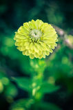 Closeup of round yellow zinnia flower in a garden with green leaves. In the background Royalty Free Stock Photos