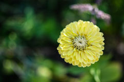 Closeup of round yellow zinnia flower in a garden with green leaves. In the background Stock Photos