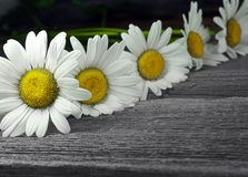Closeup row of daisy on old wooden  background Royalty Free Stock Images