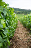 Closeup of row in vineyard between grape vines Royalty Free Stock Photos