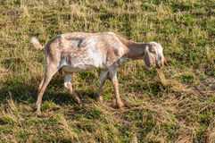 Nubian goat looking around Royalty Free Stock Photo