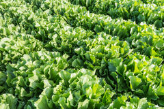 Closeup of rows of Endive plants in the field Stock Photos