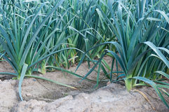 Closeup of rows of leek plants Stock Photo