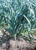 Closeup of rows of leek plants Stock Photos