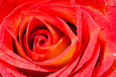 Closeup roze. As a  background Royalty Free Stock Photography