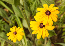 Closeup of Rudbeckia flowers Royalty Free Stock Images