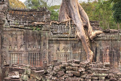 Closeup of ruined wall of an ancient Khmer temple with tree grow Stock Photos