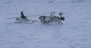 Closeup running fast reindeers and man on a sleigh in the middle of Arctic beautiful capturing video stock video footage