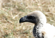 A closeup of Ruppell's Griffon Vulture Royalty Free Stock Images