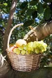 Basket full of fruit. Closeup of a rustic basket full of fruit freshly collected in an organic orchard, placed on the branches of a tree Royalty Free Stock Photography