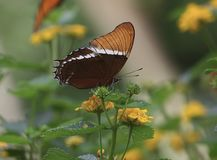 Rusty-tipped Butterfly on a yellow flower Royalty Free Stock Images