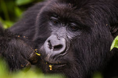 Closeup Rwanda Gorilla eating Stock Images
