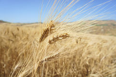 Closeup of a rye in a field. Over a blue sky Royalty Free Stock Images