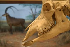 Closeup of Sable Antelope skull against blurred background stock photo