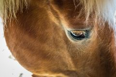 Gloomy Farm Horse. A closeup of a sad looking farm horse stock image