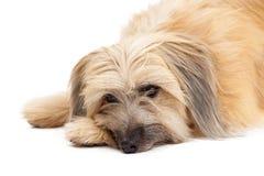 Closeup of Sad Pyrenean Shepherd Dog Stock Photo
