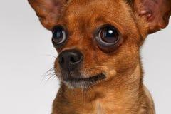 Closeup Sadly Brown Toy Terrier on White Stock Photos