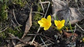 Closeup saffron crocus flower bloom in spring stock footage