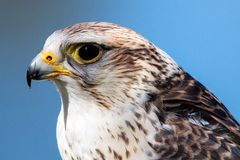 Saker Falcon. Falco cherrug. Closeup of Saker Falcon, Falco cherrug. portrait with the blue sky in the backgroung royalty free stock photography