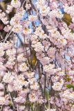 Closeup sakura are blooming, Japan Stock Image
