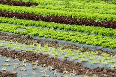 Salad alignment in a field. Closeup of salad alignment in a field royalty free stock photos