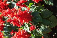 Closeup of Salvia splendens with scarlet red flowers. Close up of Salvia splendens with scarlet red flowers stock photos