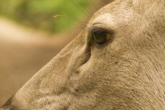 Closeup Samber Deer Stock Photo