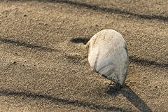 Closeup on a Sand Dollar. A'sand dollar' shell pokes out of the sand on a beach stock photo