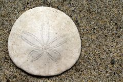 Closeup of a Sand Dollar at the beach. Closeup of a Sand Dollar in the sand at the beach Royalty Free Stock Photography