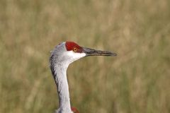 Closeup of Sandhill Crane Stock Images