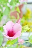 Closeup Saritaea magnifica Duyand Royalty Free Stock Photography