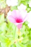 Closeup Saritaea magnifica Duyand Stock Images