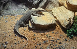 Closeup Savannah Monitor on Stone Royalty Free Stock Images