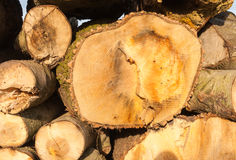 Closeup sawed tree trunks Royalty Free Stock Photos