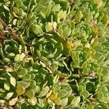 Saxifraga paniculata plant Royalty Free Stock Photography