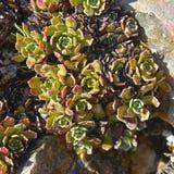 Saxifraga paniculata plant Stock Image
